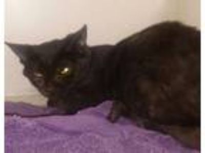 Adopt Noah a Domestic Short Hair