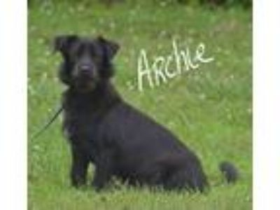Adopt Archie a Black Terrier (Unknown Type, Medium) / Mixed dog in Lebanon