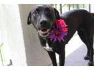 Adopt Bonnie a Border Collie, Labrador Retriever