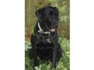 Adopt Bo a Black Labrador Retriever / Mixed dog in Kingwood, TX (22674563)