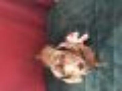ROXIE Dachshund Dog