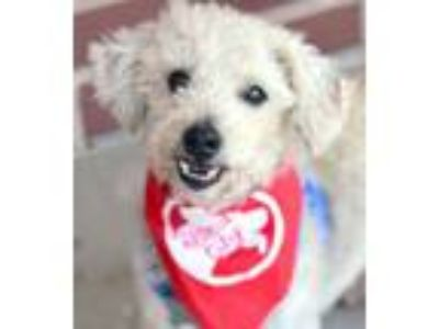 Adopt Cameron a Poodle, Mixed Breed