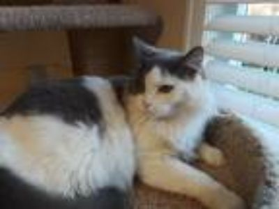 Adopt Tootsie a White (Mostly) Domestic Longhair (long coat) cat in Alpharetta
