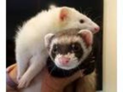 Adopt Pete and Skeeter a Ferret
