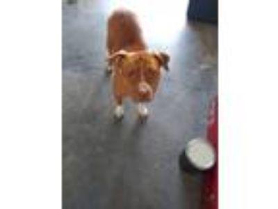 Adopt Gigi a Red/Golden/Orange/Chestnut - with White American Pit Bull Terrier /