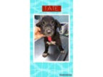 Adopt Tate a Labrador Retriever, German Shepherd Dog