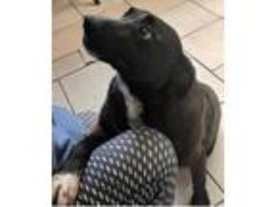 Adopt Marybelle a Black Retriever (Unknown Type) / Mixed dog in Chattanooga