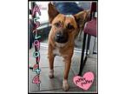 Adopt GINGER a Australian Cattle Dog / Blue Heeler