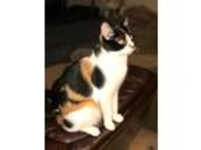 Adopt Navi a Calico or Dilute Calico Calico / Mixed cat in Bakersfield
