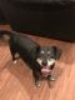Marshall Dachshund - Terrier Dog