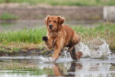 Performance Golden Retriever Puppies
