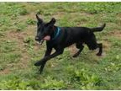 Adopt Axel a Black Labrador Retriever / Shepherd (Unknown Type) dog in Oak