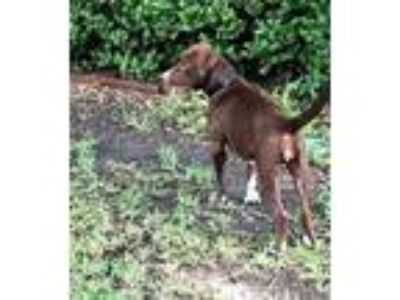 Adopt Selena a Brown/Chocolate - with White Labrador Retriever / Mixed dog in
