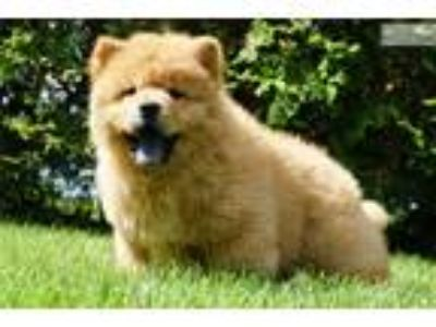 Akc Rose Super Nice Chow Chow Puppy Available!
