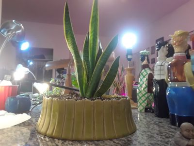 Very Healthy Snake Plant Cool '60's Planter