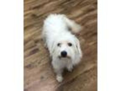 Adopt Gremlin a Poodle, West Highland White Terrier / Westie