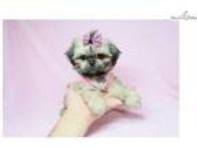 Euphoria - Teacup Shih Tzu Puppy