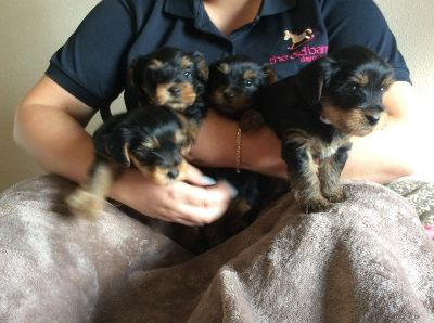 !!50% off Teacup Yorkie Puppies TEXT (936) 851-1340
