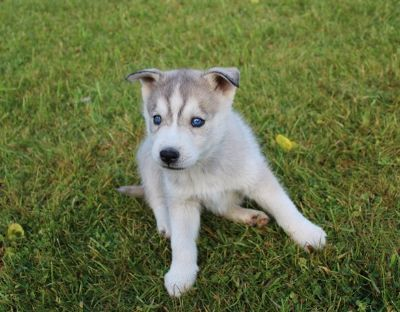 Siberian Husky PUPPY FOR SALE ADN-108514 - AKC Grey Sable Siberian Husky Puppy Blue Eyes Shef