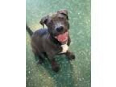 Adopt Stella a Gray/Blue/Silver/Salt & Pepper American Pit Bull Terrier / Great