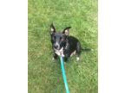 Adopt Onyx the Mama Dog a Labrador Retriever