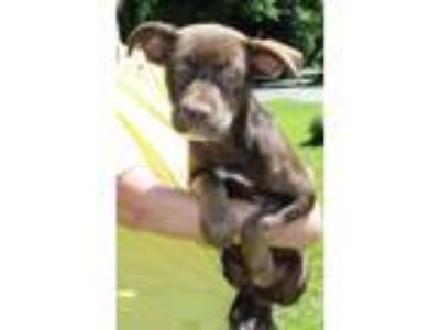 Adopt Chestnut 30512 a Chocolate Labrador Retriever, Husky