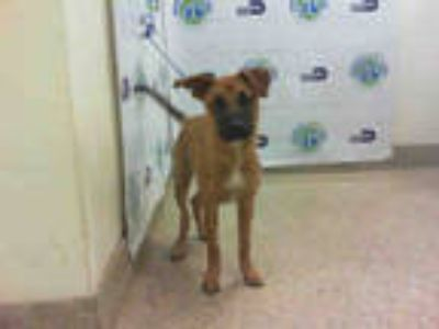 Adopt JAY a Tricolor (Tan/Brown & Black & White) German Shepherd Dog / Mixed dog
