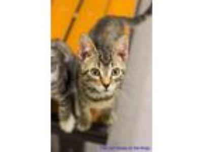 Adopt Monkey a Brown or Chocolate Domestic Shorthair cat in Fresno