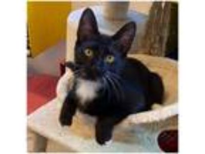 Adopt Sylvester a Domestic Short Hair, Tuxedo