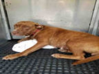 Adopt SUNDANCE a Brindle - with White Vizsla / Mixed dog in Gainesville