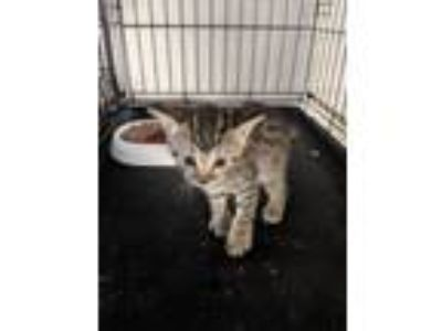 Adopt Brooke a Abyssinian
