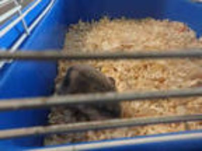 Adopt PUPUL a Silver or Gray Hamster / Mixed small animal in Van Nuys