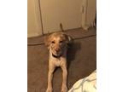 Adopt Marley a Tan/Yellow/Fawn Labrador Retriever / Mixed dog in Grenada
