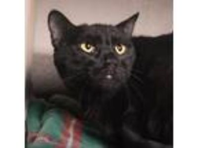 Adopt Kaboodle a All Black Domestic Shorthair / Domestic Shorthair / Mixed cat