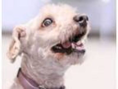 Adopt Blake a White Poodle (Toy or Tea Cup) / Mixed dog in Lowell, MA (25351955)