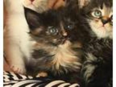 Adopt Sierra a Tortoiseshell Domestic Longhair (long coat) cat in Chicago