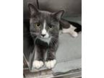 Adopt Butch Catsidy a Domestic Shorthair / Mixed (short coat) cat in Fall River