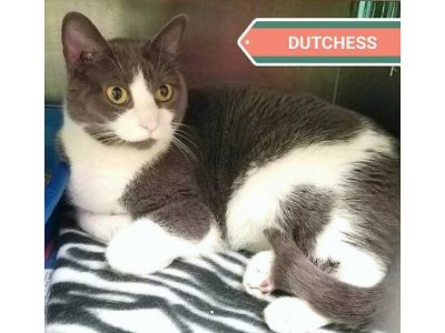 DUTCHESS IS A LOVELY ADULT CAT, SHE ...