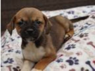 Adopt Jasmine a Brown/Chocolate - with White Pug / Boston Terrier / Mixed dog in