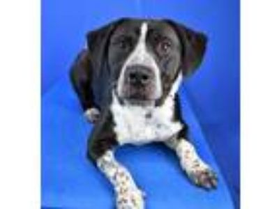 Adopt Gentry a Black Catahoula Leopard Dog / Mixed dog in Cabot, AR (24921245)