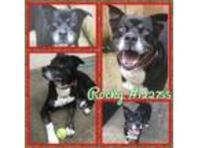 Adopt 122755 a Black - with White German Shepherd Dog / Husky / Mixed dog in