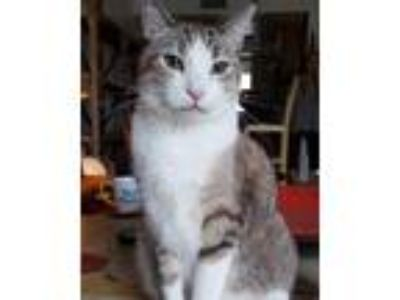 Adopt Loni a Gray, Blue or Silver Tabby Domestic Shorthair (short coat) cat in