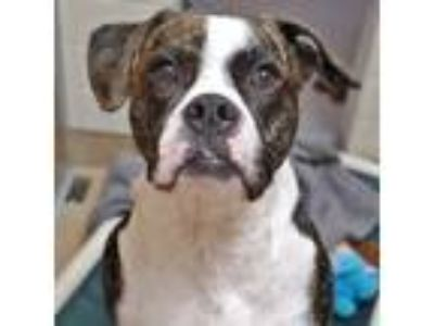 Adopt Lilo a White Boxer / American Pit Bull Terrier / Mixed dog in San
