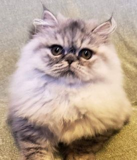 Kittens For Sale Classifieds In Bradenton South Florida