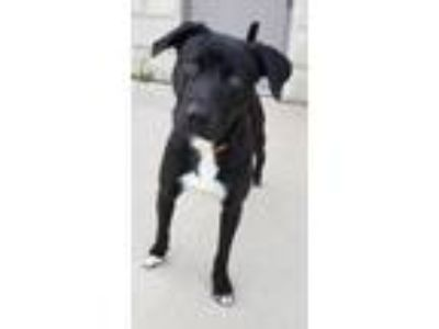 Adopt Cane - Available after 06/16 a Labrador Retriever / Mixed dog in Hillside
