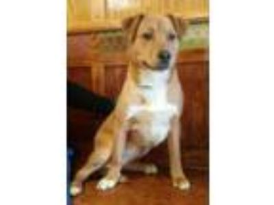 Adopt Mars a Collie, Mixed Breed
