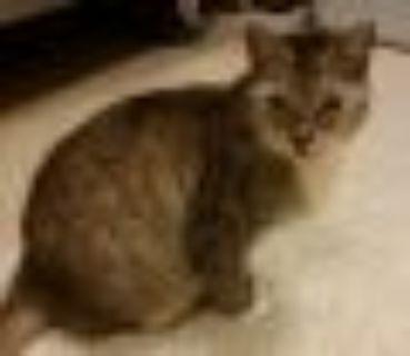Mariah Tabby Cat