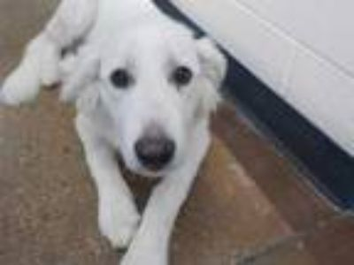 Adopt a White Great Pyrenees / Mixed dog in Temple, TX (25897475)