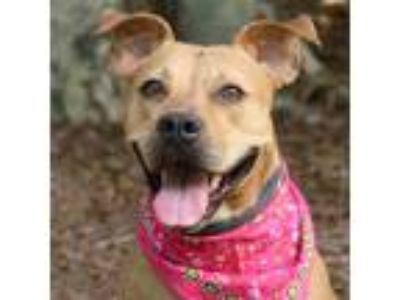 Adopt Jada a American Staffordshire Terrier / Mixed dog in Raleigh