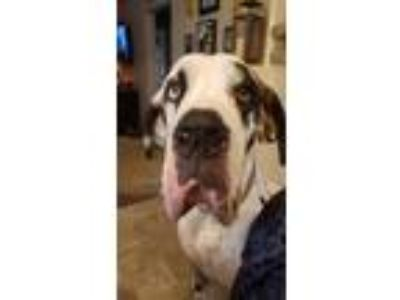 Adopt Apollo a Great Dane